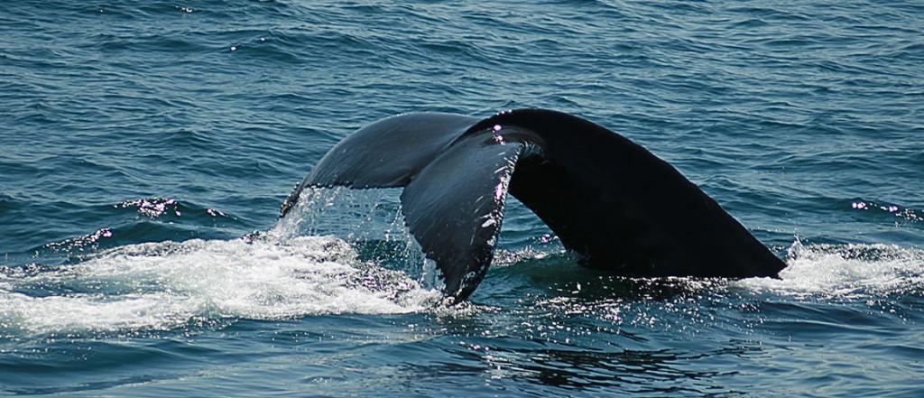 Whale watching off the Maui Coast