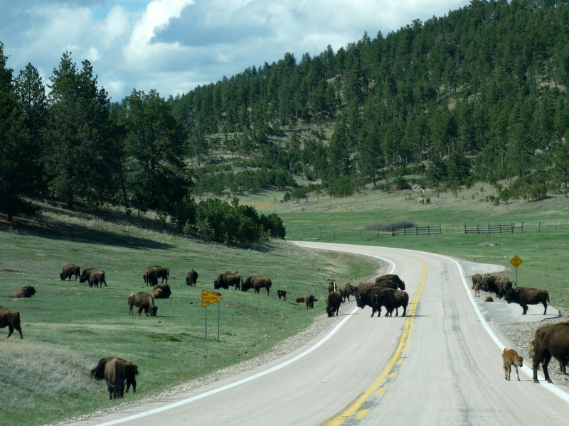 Showing The Kids How The West Was Won: A Wild Western Family Road Trip - Western Family Road Trip Guide to National Parks including Grand Teton, Yellowstone, and Rocky Mountain National Park. This post has everything you need to plan a road trip with the kids! Itinerary, what to see, what to do, where to stay, and where to eat! ****************** Wild West Road Trip | Western Road Trip | National Parks with kids | Wild West Adventure | Wanderlust | Western US Road Trip | Grand Teton with Kids | Yellowstone with Kids | Rocky Mountain National Park with Kids | Cody Wyoming with kids| Cody Rodeo | Ft. Collins Colorado with kids | Buffalo Bill Center of the West | Cody Hotel | Cody Nite Rodeo | Chief Joseph Highway | Wilderness Connection | Gardiner Montana | Continental Divide | Old Faithful | United States Serengeti Plain | Buffalo | Jackson Hole Wyoming with kids | National Parks road trip | National Parks with kids